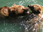 Bears in the Bear Pit - Bärengraben