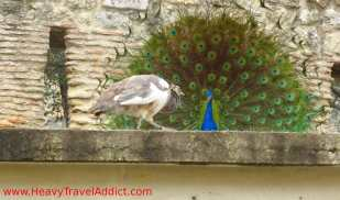 Male peacock trying to impress female